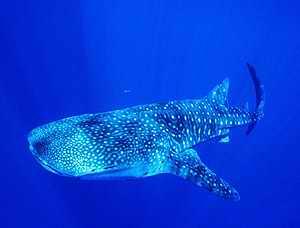 20060704213332-ballena-tiburon.jpg