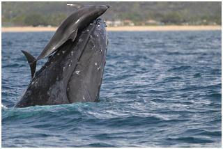20080325004756-humpbackwhaleanddolphin-5050b.jpg