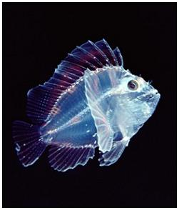 20090131030753-translucent-leaf-scorpionfish-9595.jpg