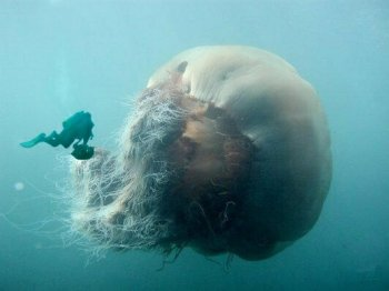 20060726030814-giant-jellyfish.jpg