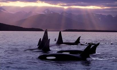 20070203001350-orcas1-4040.jpg