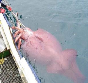 20070228214312-calamar-de-media-tonelada-b.jpg