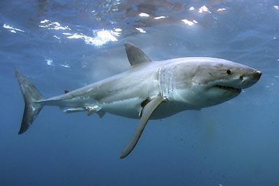 20080512221946-tiburon-blanco.jpg