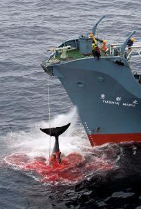 20080617015503-ballena-cazada-por-japon-3434.jpg
