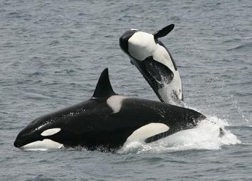 20110831233555-orca-small80.jpg