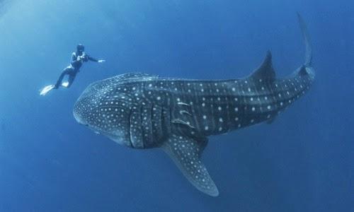 20160530223646-el-tiburon-ballena-mas-protegido-gracias-a-panama.jpg